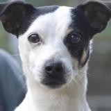 Joss, Chien jack russel terrier à adopter