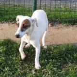 Louna (réservée), Chien jack russel terrier à adopter