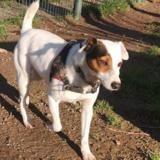 Titou, Chien jack russel terrier à adopter