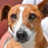 Kizz, Chien jack russel terrier à adopter