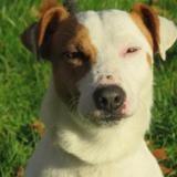 Ninja, Chien jack russel terrier à adopter