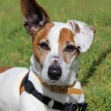 Tyson, Chien jack russel terrier à adopter