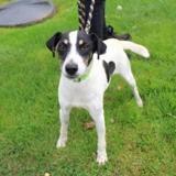 Murphy, Chien jack russel terrier à adopter