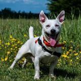 Hermann, Chien jack russel terrier à adopter