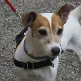 Jackpot, Chien jack russel terrier à adopter