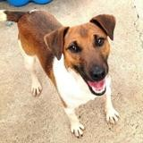 Moscou, Chien jack russel terrier à adopter