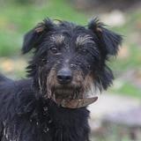 Macronne chao10176, Chien jadg terrier à adopter