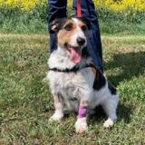 Foxie (reservee), Chien jadg terrier à adopter