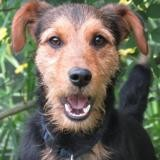 Apple, Chien jadg terrier à adopter