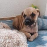Penny, Chiot labrador croisé berger à adopter