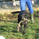 Boby, Chiot labrador (retriever) à adopter