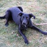 Meera, Chiot labrador (retriever) à adopter
