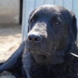 Mounty, Chiot labrador (retriever) à adopter