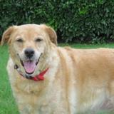 Océane, Chiot labrador (retriever) à adopter