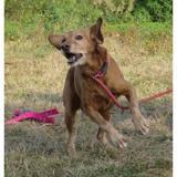 Zebulon vaa20866, Chien labrador (retriever) à adopter