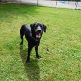 Blacky, Chiot labrador (retriever) à adopter