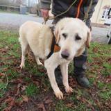 Marcus (en famille d'accueil définitive), Chien labrador (retriever) à adopter