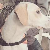 Nakou, Chien labrador (retriever) à adopter