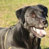 Jack oaa17927, Chien labrador (retriever) à adopter