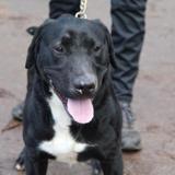 Doggy, Chien labrador (retriever) à adopter