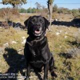 Boudha, Chien labrador (retriever) à adopter