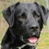 Marley oaa18225, Chien labrador (retriever) à adopter