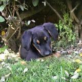 Pandora, Chiot labrador (retriever) à adopter
