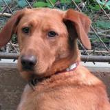 Obrac, Chiot labrador (retriever) à adopter