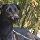 Banzai (vidéo), Chien labrador (retriever) à adopter