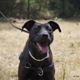 Tia, Chiot labrador (retriever) à adopter