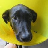 Ruby (réservée), Chiot labrador (retriever) à adopter