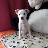 Mano reserve, Chiot labrador (retriever) à adopter