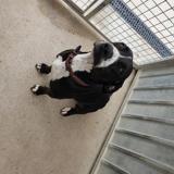 Belle, Chien labrador (retriever) à adopter