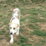Oggy, Chiot labrador (retriever) à adopter