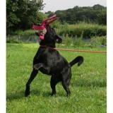 Kayass vaa21821, Chien labrador (retriever) à adopter