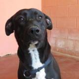 Philou paa19433, Chien labrador (retriever) à adopter
