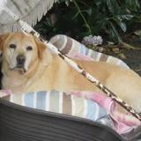 Duffy, Chien labrador (retriever) à adopter