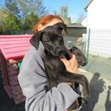 Hayao vaa21988, Chiot labrador (retriever) à adopter