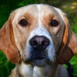 Rex oaa18489 (déjà réservé), Chien labrador (retriever) à adopter