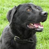 Archie, Chien labrador (retriever) à adopter