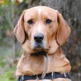 Lucky, Chien labrador (retriever) à adopter