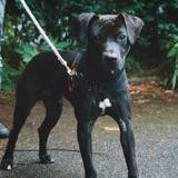 Elfman vaa22048, Chien labrador (retriever) à adopter