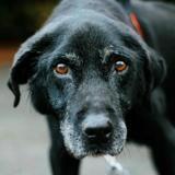 Romeo vaa22053, Chien labrador (retriever) à adopter