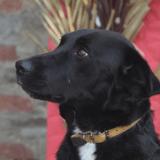 Flappie, Chien labrador (retriever) à adopter