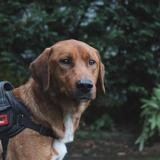 Amarok vaa22103, Chien labrador (retriever) à adopter