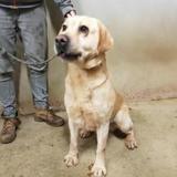 Adrian vaa22185, Chien labrador (retriever) à adopter