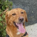 Junky , Chien labrador (retriever) à adopter