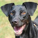 Holly oaa17842, Chien labrador (retriever) à adopter