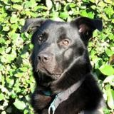 Narhko, Chien labrador (retriever) à adopter