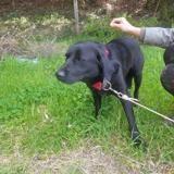 Oscar (réservé), Chien labrador (retriever) à adopter